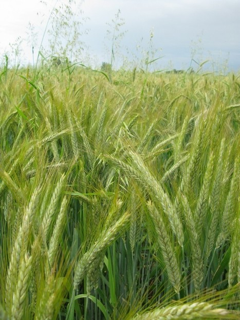 Evaluation de variétés et de lignées de blé tendre en Agriculture Biologique - IBB | Agriculture bio | Scoop.it
