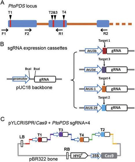 Efficient CRISPR/Cas9-mediated Targeted Mutagenesis in Populus in the First Generation : Scientific Reports | Biologie Intégrative | Scoop.it