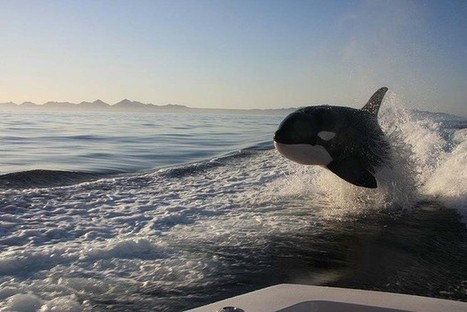 Such beautiful creatures: extraordinary photos of orcas chasing down yacht | Indigo Scuba | Scoop.it