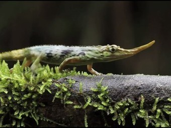 """""""Extinct"""" Pinocchio lizard spotted again in Ecuador's cloud forests 