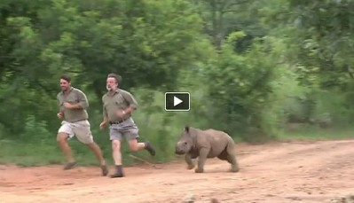 Baby Rhino Recovering From Gunshot Wound Runs With Her Doctors (VIDEO) | Life... | Scoop.it