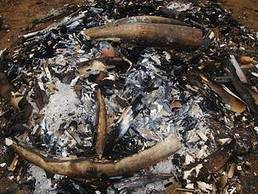 Urgent international action needed following elephant poaching statistics in Mozambique | Research Capacity-Building in Africa | Scoop.it