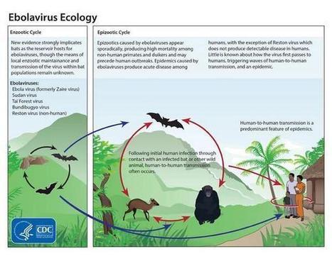 Ecología del virus del Ébola | Todo Biología | Scoop.it