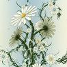 LA MANZANILLA UNA MARAVILLA.(Matricaria chamomilla L. )