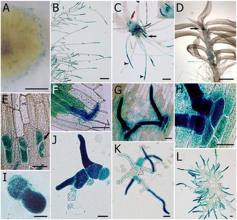 The Physcomitrella patens unique alpha-dioxygenase participates in both developmental processes and defense responses | plant cell genetics | Scoop.it