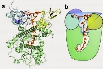Knowing what to keep and what to trash: How the Dis3l2 protein distinguishes cellular messages | Stem Cells Freak | Stem Cells | Scoop.it
