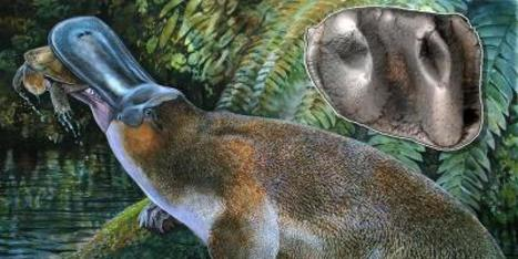 Fossil Field Discovery Points To Monster 'Monotreme' | Science and Nature | Scoop.it