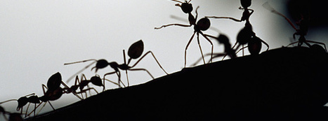 Why Organizations Should Embrace Randomness Like Ant Colonies | SOCIAL CROWDSOURCING | Scoop.it