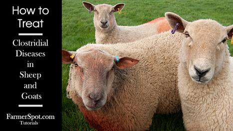 How to treat Clostridial Diseases in Sheep and Goats | Farming and the Countryside | Scoop.it