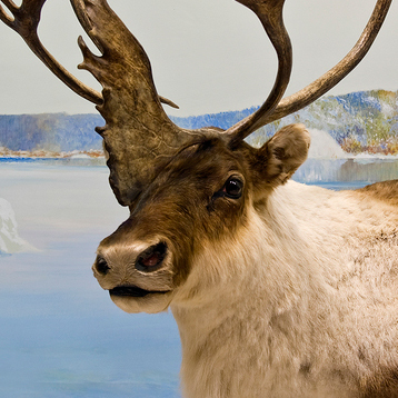 Reindeer Populations in Decline | Climate change challenges | Scoop.it