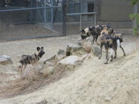 Photos de canidés : Lycaon - Cynhyène - Lycaon pictus - Canis pictus - Loup peint - Chien sauvage africain - African wild dog | Fauna Free Pics - Public Domain - Photos gratuites d'animaux | Scoop.it