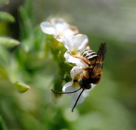 Une première liste des abeilles sauvages de la Martinique   EntomoNews   Scoop.it