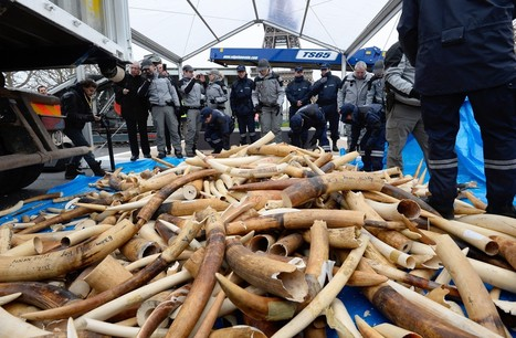 France Becomes First European Country To Destroy Ivory Stockpile | Nature Animals humankind | Scoop.it