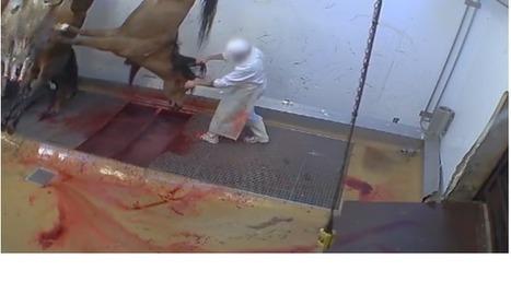 Abattoirs: « La protection animale doit devenir aussi importante que l'hygiène»   Le SNISPV dans les medias   Scoop.it