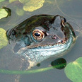 LARA - Lancashire Amphibian and Reptile Atlas Project | Amphibian & Reptile Conservation | Scoop.it