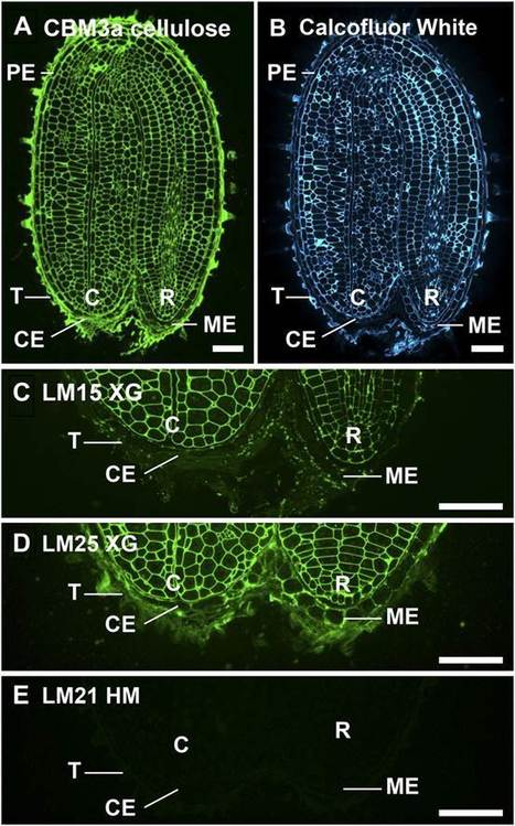 New WSL Publication: Distinct Cell Wall Architectures in Seed Endosperms in Representatives of the Brassicaceae and Solanaceae | Wageningen Seed Lab | Scoop.it