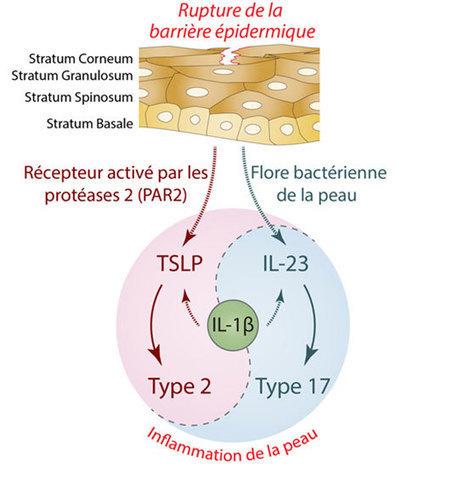UDEAR - Une avancée dans la compréhension des mécanismes inflammatoires des maladies de peau | Actualité des laboratoires du CNRS en Midi-Pyrénées | Scoop.it