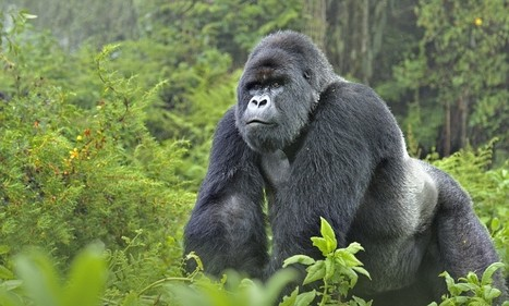 A trip to see mountain gorillas in Rwanda proves to be a 'mind blowing ... - Daily Mail   Family Travel Bag News   Scoop.it