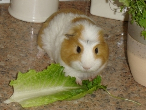 What Life Would Be Like... If Guinea Pigs Ran the World | Guinea Pigs | Scoop.it