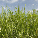 Cool Planet Nears Commercial Production of Carbon Negative Biofuel | Zero Footprint | Scoop.it