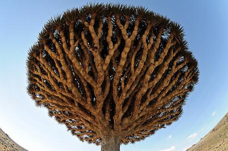 Dragon's Blood tree | Harmony Nature | Scoop.it