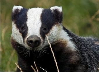 Oxford academic criticizes badger cull | Bovine TB, badgers and cattle | Scoop.it