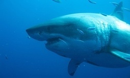 Shark nets used at most beaches do not protect swimmers, research suggests   Oceans and Wildlife   Scoop.it