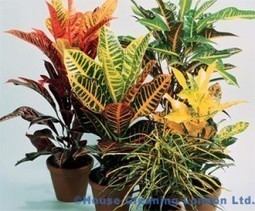 The plant Croton – the motley aristocrat at your home | home | Scoop.it
