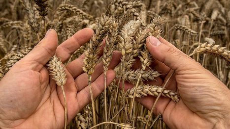 Moisson catastrophique pour les céréaliers bio: « C'est la pire moisson depuis 50 ans » | Agriculture bio | Scoop.it