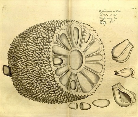 #inspiration from #Publicdomain - botanical illustrations! Hortus Malabaricus (1678-1693) | @BadasseBs | Scoop.it