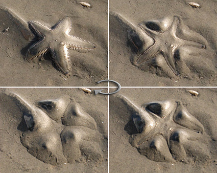SAND ANGELS! Astropecten The starfish that bury & dig themselves out! | Amocean OceanScoops | Scoop.it