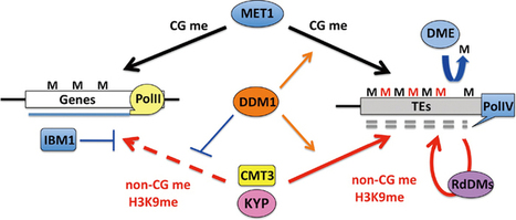 Transgenerational inheritance of induced changes in the epigenetic state of chromatin in plants | Epigenetics and Genomics | Scoop.it