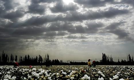 Uzbek farmers told to glue cotton back on bushes for official visit | Quite Interesting News | Scoop.it