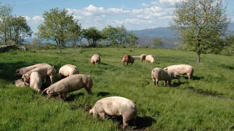 El cerdo gallego reta al buey de Kobe en Japón | La economía en la vida real | Scoop.it