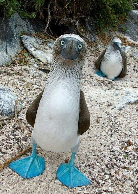 Twitter / ThatsEarth: The Blue Footed Boobie. ... | happiness | Scoop.it