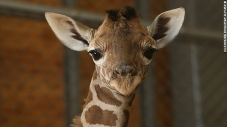Why Facebook is full of giraffes | Analytical Essays on Terrorism | Scoop.it