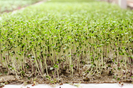 Local Greens, An Alternative Farm in Our Very Own Urban Backyard | Mollie's Kitchen | Microgreens | Scoop.it