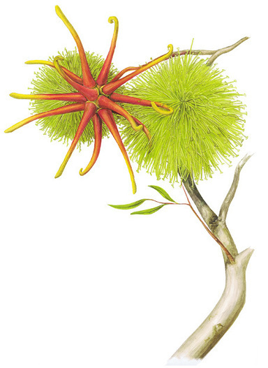An illustrated guide to Australia's gum blossoms | Australian Plants on the Web | Scoop.it
