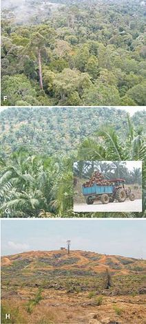 Social and environmental impact of palm oil - Wikipedia, the free encyclopedia | Say No To Palm Oil | Scoop.it