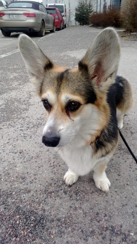 She has big ears | Nala the Corgi | Scoop.it