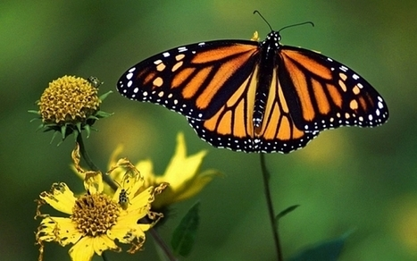 Tim Benton quote: Butterflies steal DNA of zombie wasps in natural genetic modification | BIOSCIENCE NEWS | Scoop.it