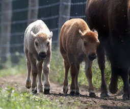 Native Americans to celebrate rare white bison in Connecticut farm | Central New York Traveler | Scoop.it