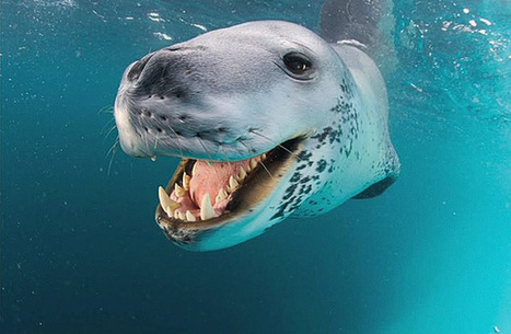 National Geographic Photographer Faces Off with Giant Leopard Seal | xposing world of Photography & Design | Scoop.it