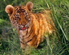 Adopt a tiger   Cats Cat History   Scoop.it