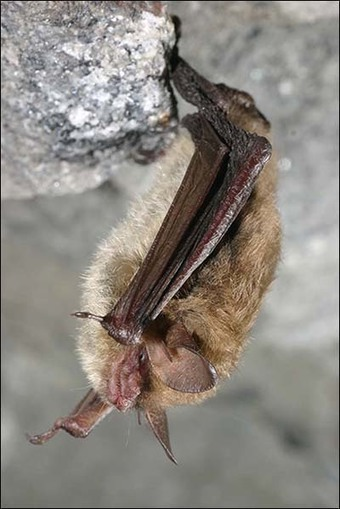 USFWS says it won't set critical habitat for threatened bat | Farming, Forests, Water, Fishing and Environment | Scoop.it