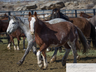 Checkerboard roundup wild horses now available at Rock Springs   GarryRogers Biosphere News   Scoop.it