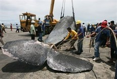Japan's whaling season in doubt this year | The Australian government should oppose Japanese whaling in Antarctica. | Scoop.it