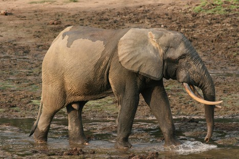 Home-grown corruption is killing Africa's rhinos, elephants   Africa Green Media   Research Capacity-Building in Africa   Scoop.it