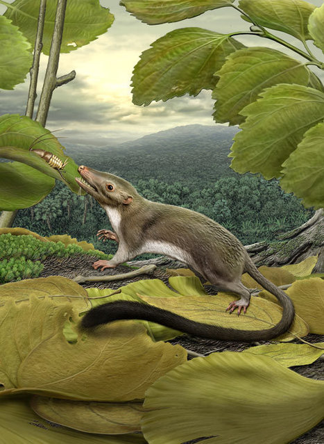 Ancestor of humans and all other mammals was small furry insect eater   BIOSCIENCE NEWS   Scoop.it