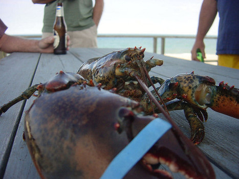 Saved From Dinner Plate! Meet the 110-Year-Old Lobster Rescued From Florida Restaurant | Nova Scotia Fishing | Scoop.it